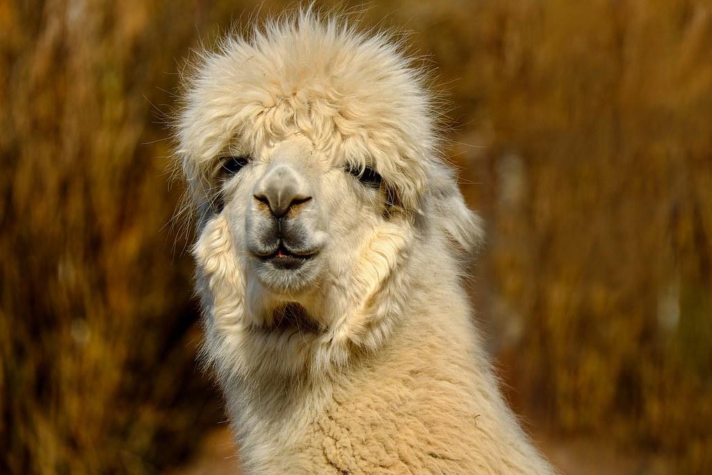 Alpaca en Perú