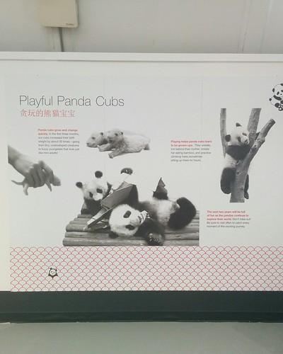 """""""Playful panda cubs"""" #toronto #torontozoo #pandas #giantpandaexperience #latergram"""