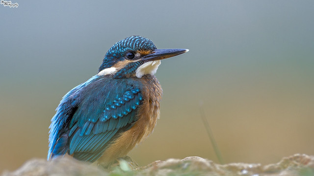 Small Blue KF, Canon EOS 7D, Canon EF 500mm f/4L IS