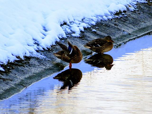 Linnukaamera: Sinikaelpardid Balti Elektrijaama kanalis