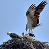 Belize: Osprey by sparrowjack007
