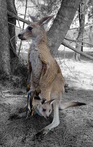 Kangaroo - Morisset, NSW, Australia