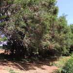 Olea europaea ssp. cuspidata windbreak