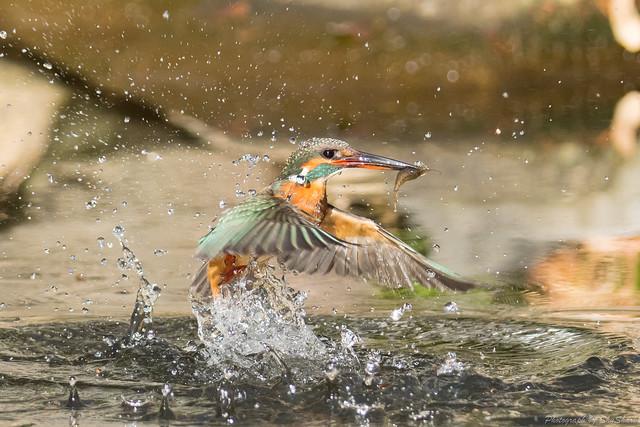20171229-kingfisher-DSC_3021
