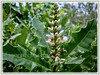Acanthus ebracteatus (Sea Holly, Holly Mangrove, Holly-leaved Mangrove, Jejeru Hitam in Malay)