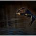 Flying Cormorant.