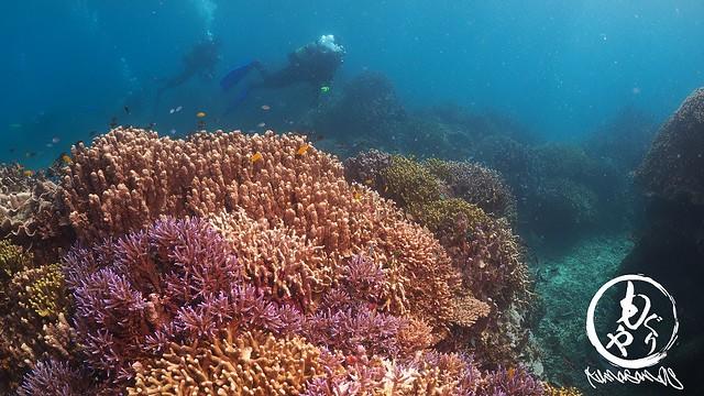 石垣島と言えばカラフルキレイなサンゴです♪