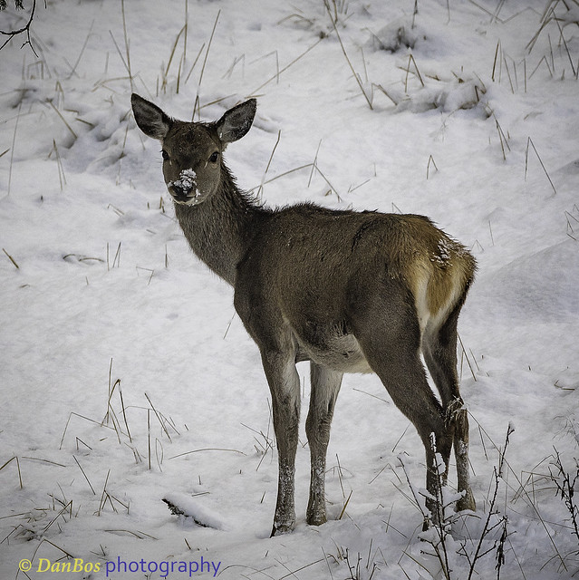 young deer on snow