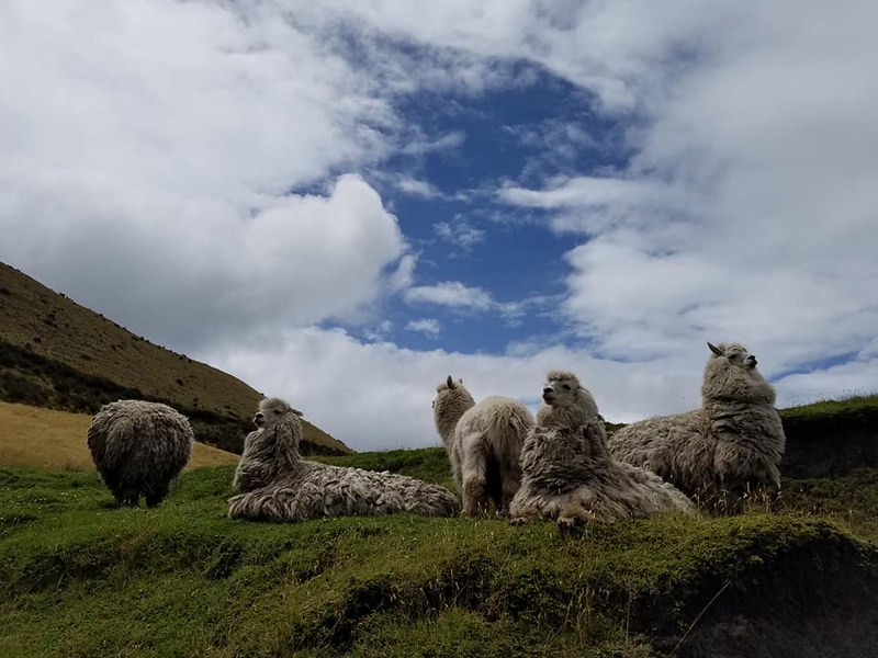 Cayambe • Alpacas