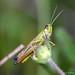 Sprinkhaan - Grashopper