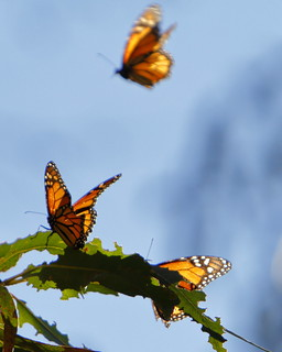 Monarch Butterflies on the Monarch Trail | by mrmoorey