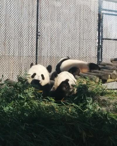 Er Shun, Jia Panpan, Jia Yueyue (10) #toronto #torontozoo #pandas #giantpandaexperience #ershun #jiapanpan #jiayueyue #bamboo #latergram