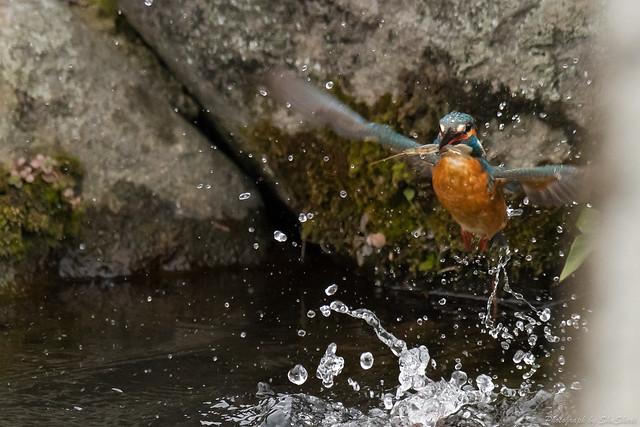 20171224-kingfisher-DSC_1842