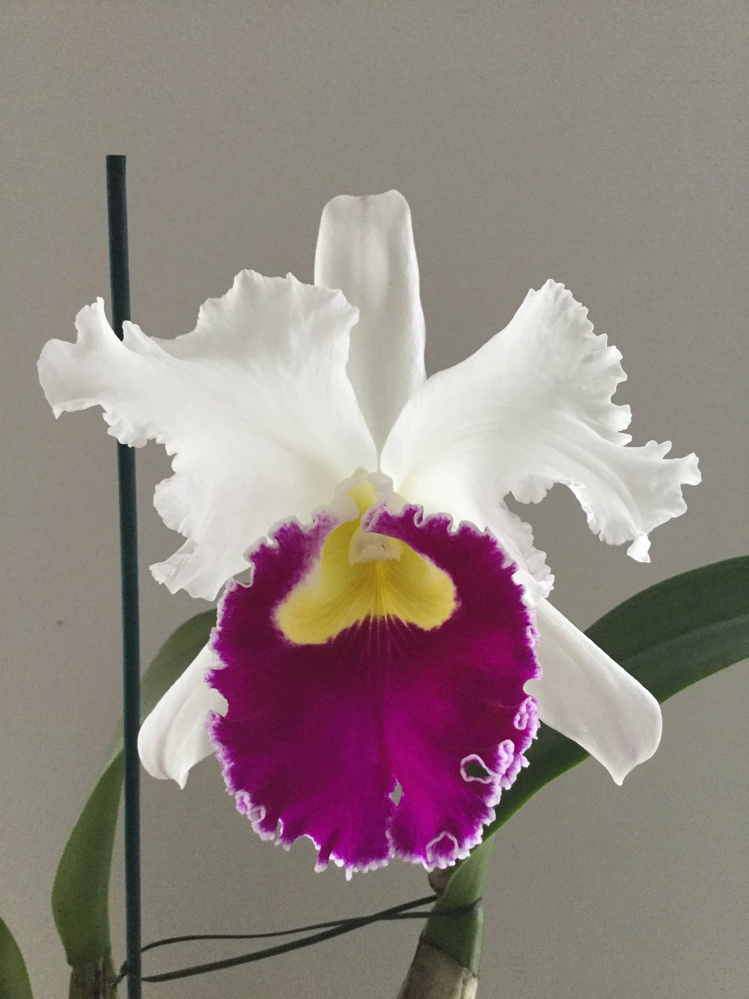 Cattleya (Lc) Orglade's Grand 'Orchis' AM/AOS 38600393735_dd12818a21_k
