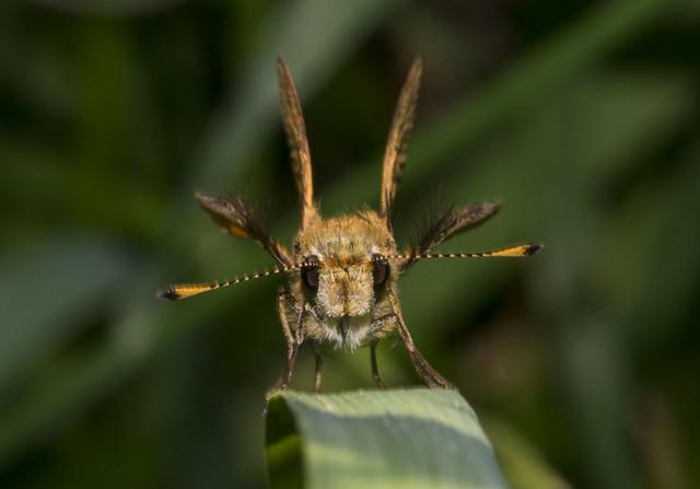 Greenish Grass Dart Ocybadistes, Nikon D3400, AF Micro-Nikkor 105mm f/2.8