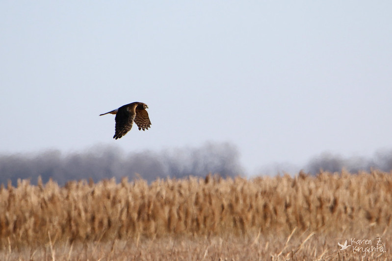 IMG_0706NorthernHarrier