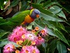 Lorikeet feeding