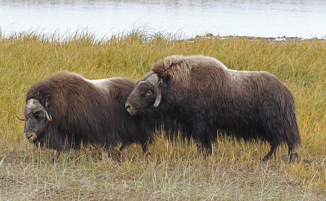 Muskox Speed Dating