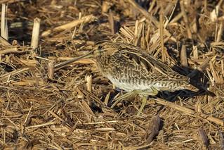 Agachadiza común (Gallinago gallinago)