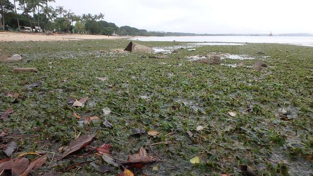 Seagrass meadows at Pasir Ris