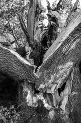 Ruine Mackensen Eiche Worpswede