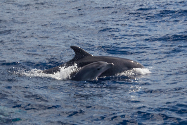 Dolphins (IMG_5024)