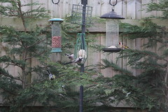 HolderThree Aegithalos caudates with gold finch on the feeders