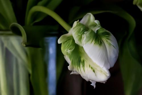 Parrot Tulip 364 pf 365 (4)