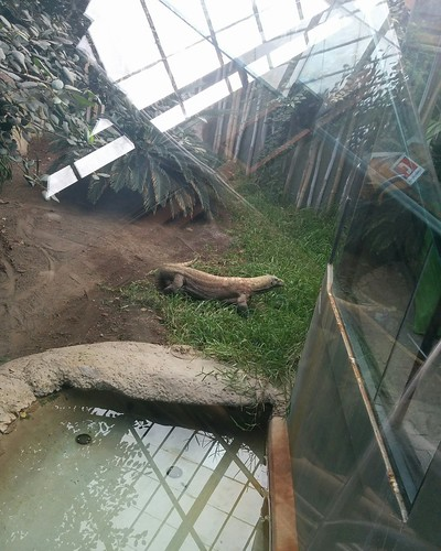 Komodo dragon (1) #toronto #torontozoo #komododragon #reptiles #latergram