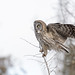 Great Gray Owl-46057.jpg