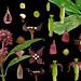 Cornaceae Aucuba chinensis by taiwanicus