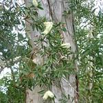 Melaleuca quinquenervia bark and leaves