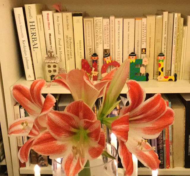 Amaryllis opening for christmas