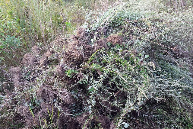 a tall pile of light-green plants that have been ripped out, their long roots visible