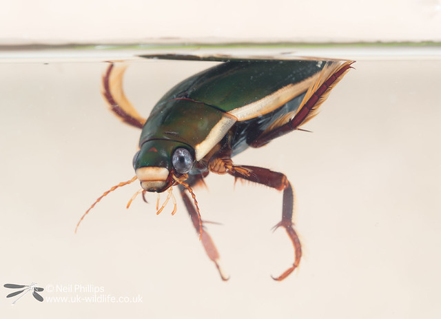black bellied diving beetle Dytiscus semisulcatus in photo aquarium-5