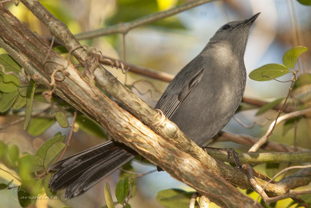 Maullador Gris / Gray Catbird - Dumetella carolinensis (Linnaeus, 1766)