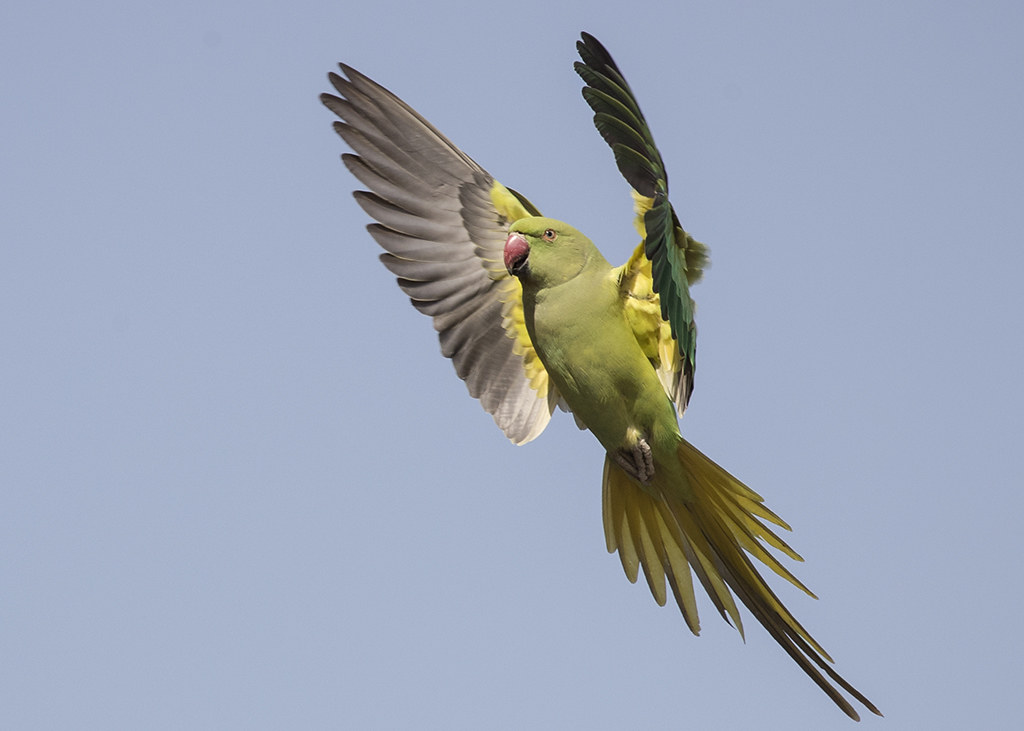 Rose-ringed Parakeet.  Psittacula krameri.  Agra Fort,India.
