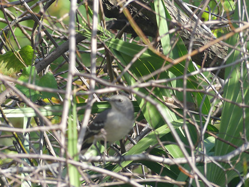 PAS-Mimi Northern Mockingbird (Mimus polyglottos) program mode caught the log instead by Lee (8)r