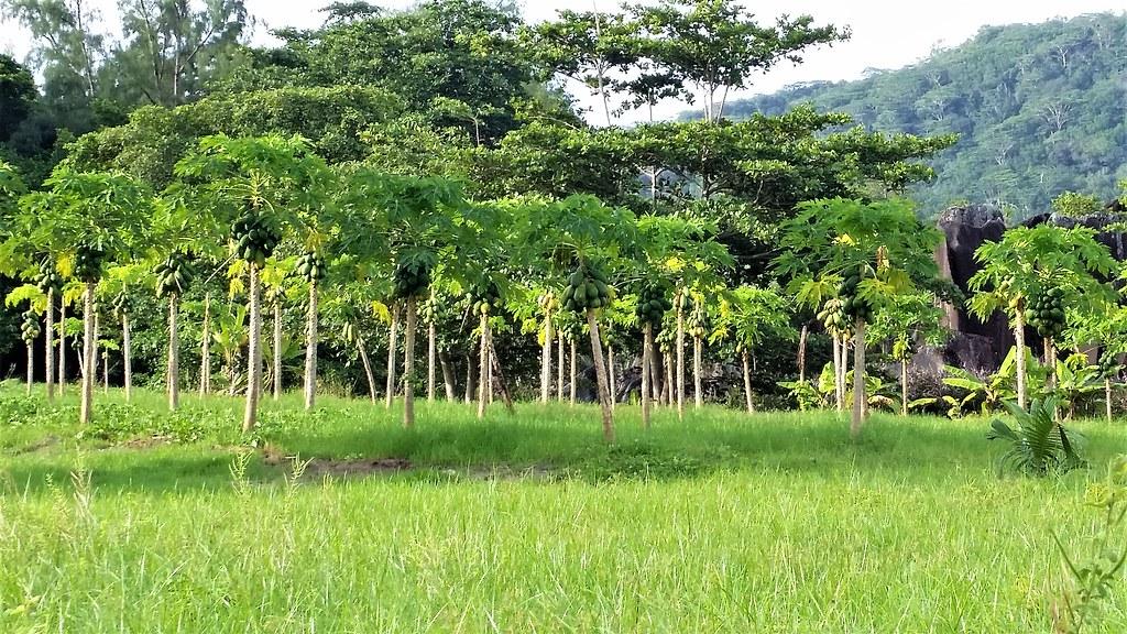 Plantacja orzecha kokosowego La Digue