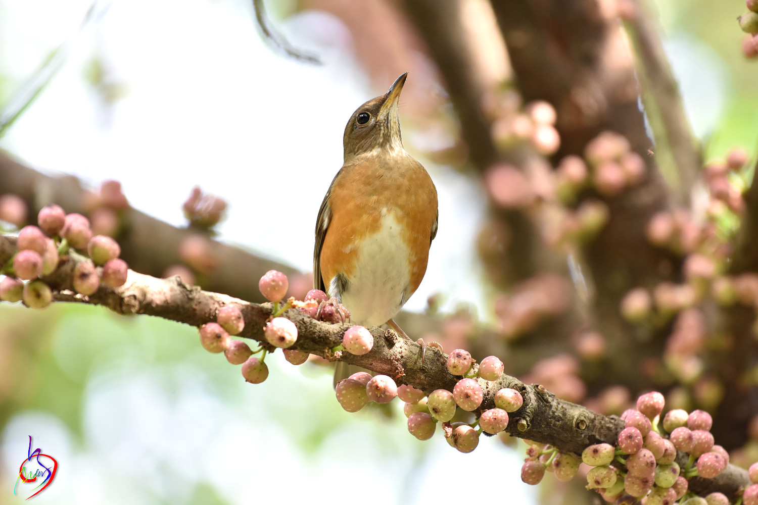 Brown-headed_Thrush_4880