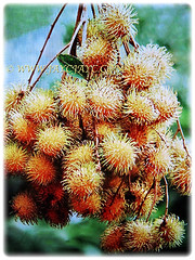 A bunch of recently harvested fruits of Nephelium lappaceum (Rambutan, Hairy Lychee), 13 Dec 2017