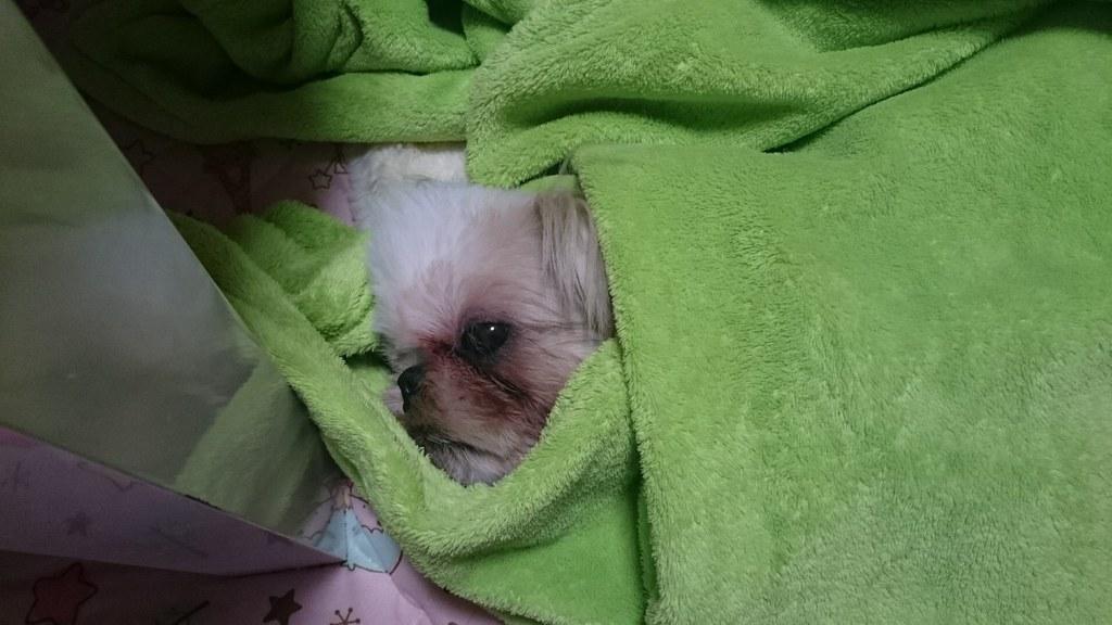 毛布から顔を出すシーズーのえいと