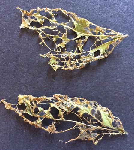 Skeleton leaves preserved with PVA glue