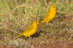 Saffron Finch (7DC_6844-1)