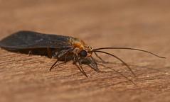 Caddisflies Trichoptera of Whitsunday Shire