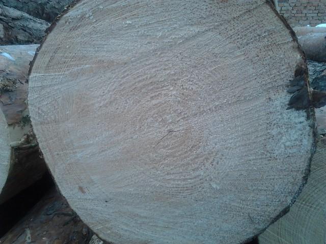Toras Pinus
