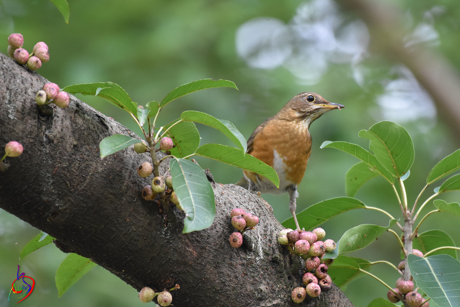 Brown-headed_Thrush_4712