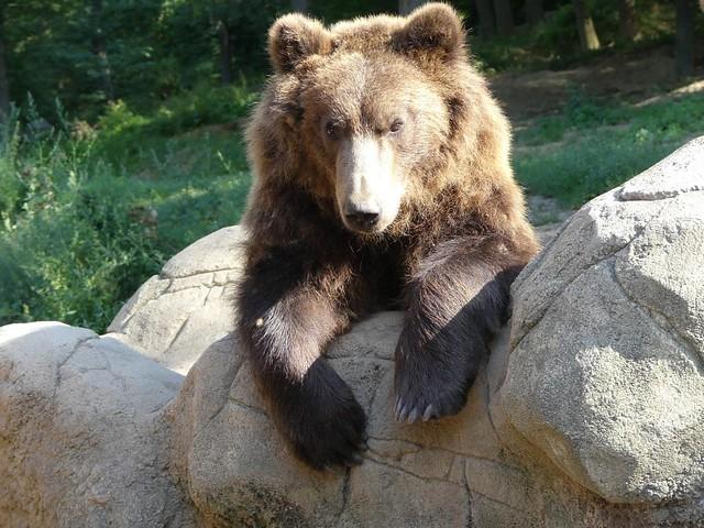 Kamtschatkabär, Zoo Brno