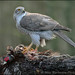 Northern Goshawk by Mike Warburton Photography
