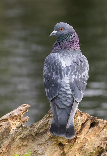 11 feral pigeon - Best2017